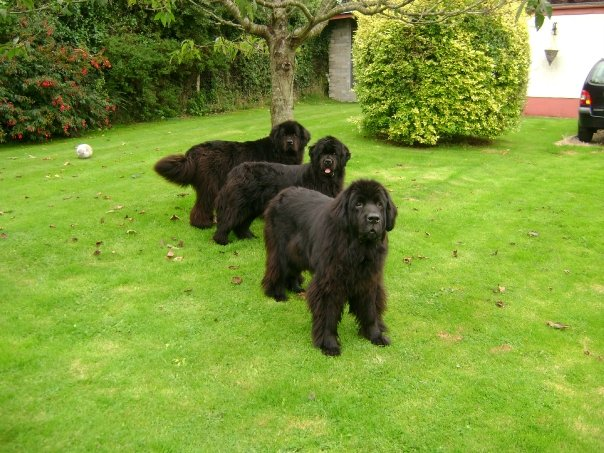 Newfoundland Puppies For Sale In Ireland Puppies For Sale Dogs For