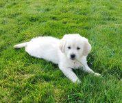 Dog Breeder Golden Retreiver