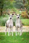Whippet owner breeder Ireland