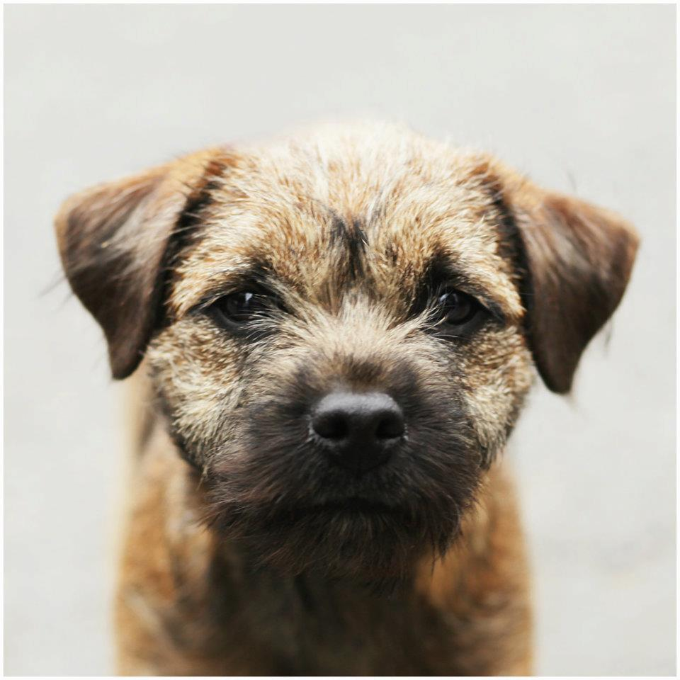 Irish Kennel Club - Puppies for sale Dogs for sale Pups for sale ... | Border Terrier Pet Insurance Cost