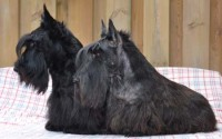Scottish Terriers in Ireland