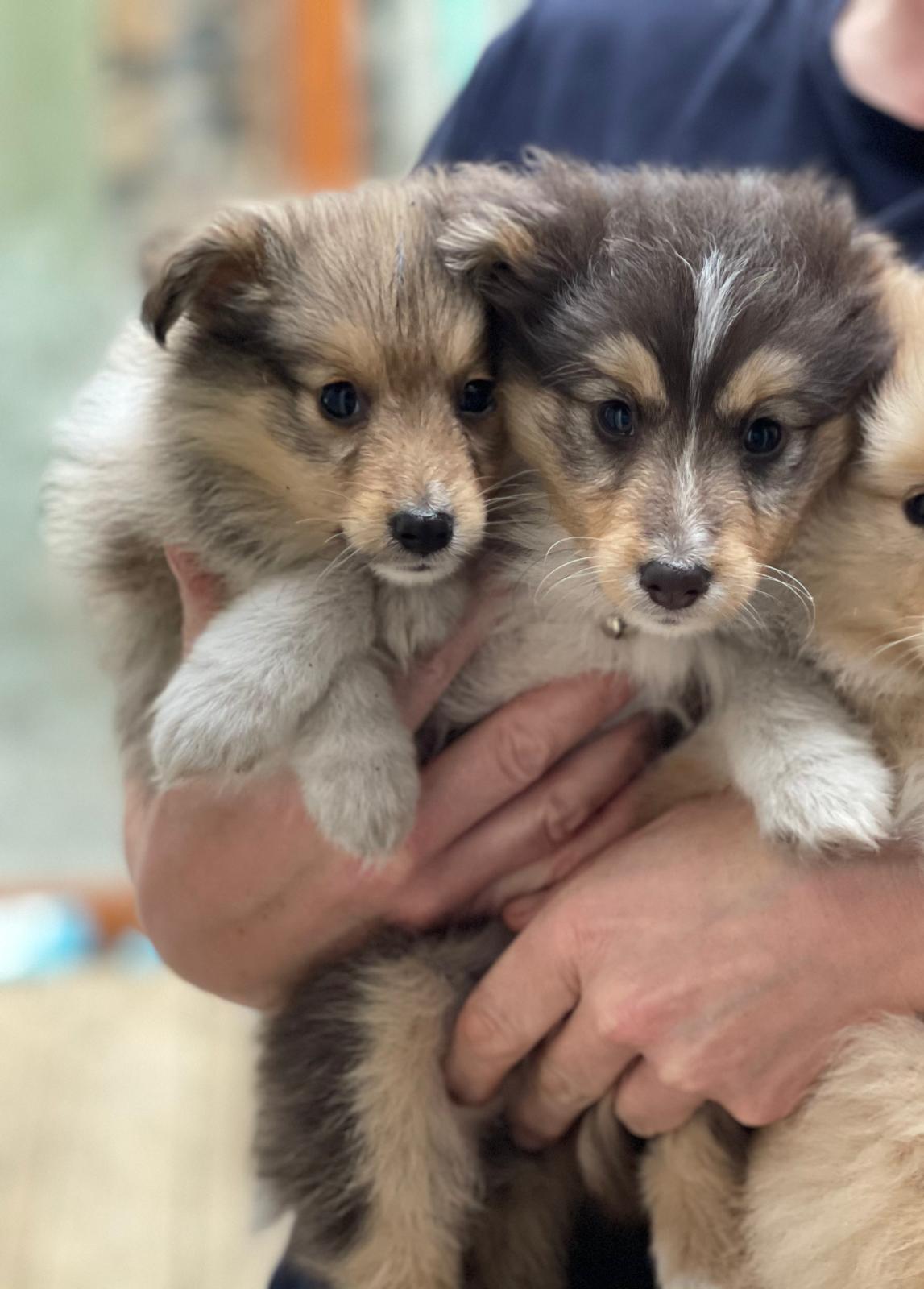 Shetland sheepdog pups for sale