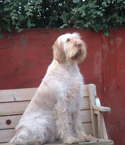 Italian English Animsld: Italian Spinone Is This Hunt Point Retrieve Dog Suitable