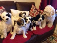 Tibetan Terriers for sale in Ireland