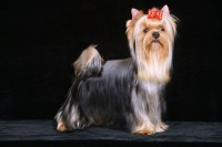 Yorkshire Terrier Breeders in Ireland